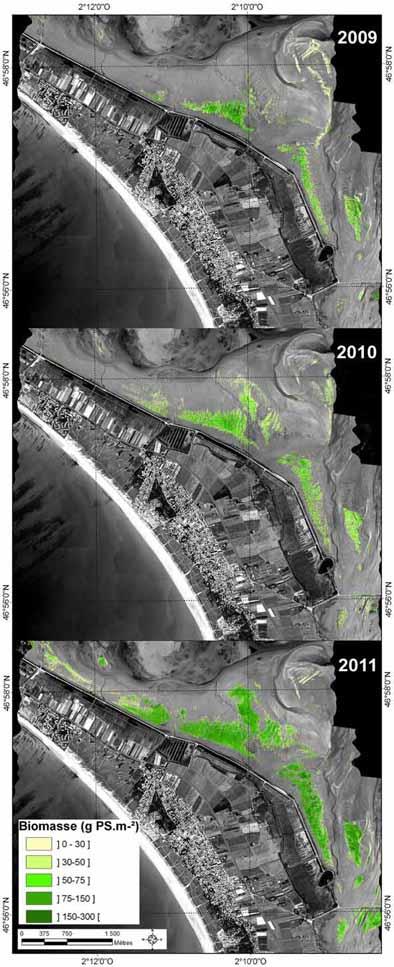 Distribution de la biomasse de zostères