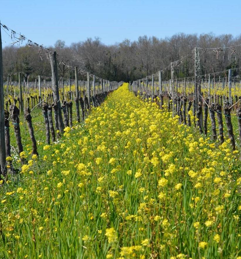 Photo 1. Essai engrais vert à base de moutarde conduit par la chambre d'Agriculture de Gironde. L'idée en phytoextraction est de semer dans l'inter-rang des plantes ayant un fort potentiel d'extraction de Cu.