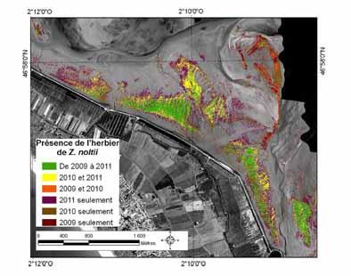 Synthèse de la distribution de biomasse de zostères